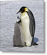 Emperor Penguin And Chick Snow Hill Isl Metal Print