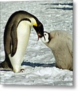 Emperor Penguin Chick Feeding Metal Print