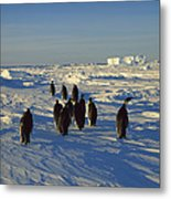 Emperor Penguin Group Walking On Ice Metal Print