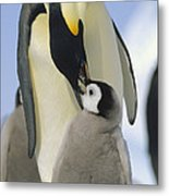 Emperor Penguin Parent Feeding Chick Metal Print