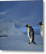 Emperor Penguins At Midnight Antarctica Metal Print