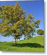 English Black Walnut Tree Switzerland Metal Print