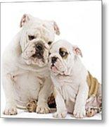 English Bulldog, Adult And Puppy Metal Print