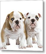 English Bulldog Puppies Metal Print