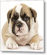 English Bulldog Puppy Metal Print
