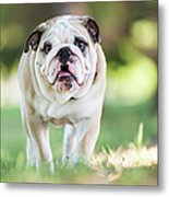 English Bulldog Puppy Walking Outdoors Metal Print