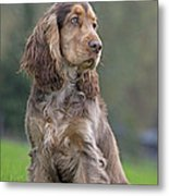 English Cocker Spaniel Dog Metal Print