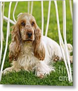 English Cocker Spaniel Metal Print