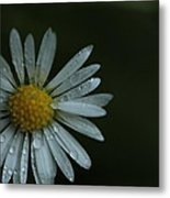 English Daisy And Rain Drops Metal Print