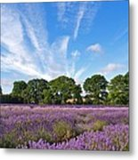 English Lavender Fields In Hampshire Metal Print