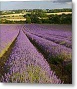 English Lavender Near Alton In Hampshire Metal Print