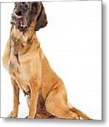 English Mastiff Dog With Tilted Head And Drool Metal Print