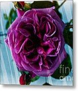English Rose - Purple Rose - Fragrant Rose Metal Print
