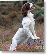 English Springer Spaniel Dog Metal Print