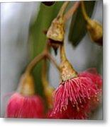 Eucalyptus Flower Metal Print