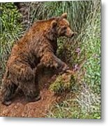 Eurasian Brown Bear 21 Metal Print