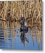 Eurasian Coot And The Bubles Metal Print