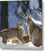 Eurasian Lynx Pair Bayerischer Wald Np Metal Print