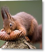 Eurasian Red Squirrel Biting Cone Metal Print by Ingo Arndt