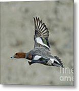 Eurasian Wigeon Flying Metal Print
