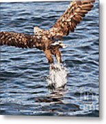 European Fishing Sea Eagle 2 Metal Print
