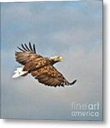 European Flying Sea Eagle 3 Metal Print