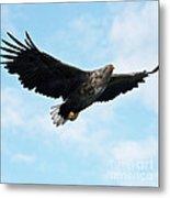 European Flying Sea Eagle 7 Metal Print