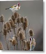 European Goldfinch Metal Print