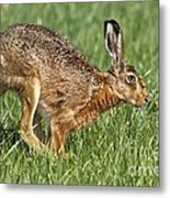 European Hare Metal Print