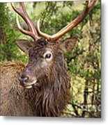 European Red Deer 1 Metal Print