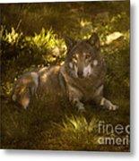 European Wolf Metal Print