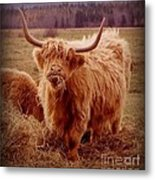 Even Cape Breton Cattle Have Character Metal Print
