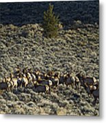 Evening Herd Of Elk   #7640 Metal Print