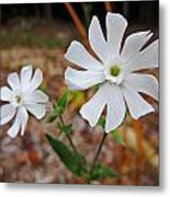 Evening Lychnis Metal Print