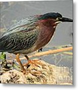 Everglades Green Heron Metal Print