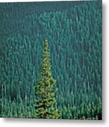 Evergreen Trees Metal Print