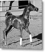 Exercising Horse Bw Metal Print