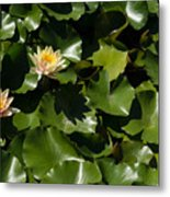 Exotic Colored Waterlilies In The Hot Mediterranean Sun Metal Print