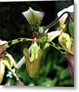 Exotic Ladyslipper Metal Print