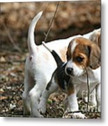 Exploring Beagle Pups Metal Print