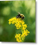 Exploring Goldenrod 2 Metal Print