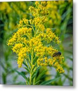 Exploring Goldenrod 3 Metal Print