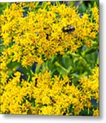 Exploring Goldenrod 5 Metal Print