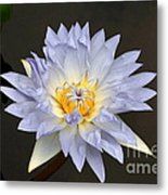 Exquisite Lavender Waterlily Metal Print