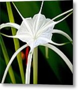 Exquisite Spider Lily Metal Print