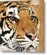 Eye Of The Tiger. Metal Print