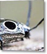 Eyed Click Beetle Metal Print