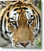 Eyes Of The Tiger Metal Print