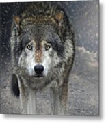 Face To Face With The Wolf Metal Print