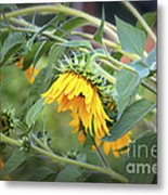 Fading Sunflower Metal Print